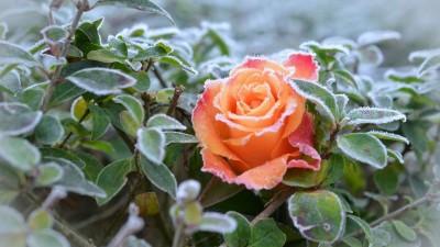 róża_szron